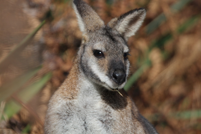 Red neck wallaby 1
