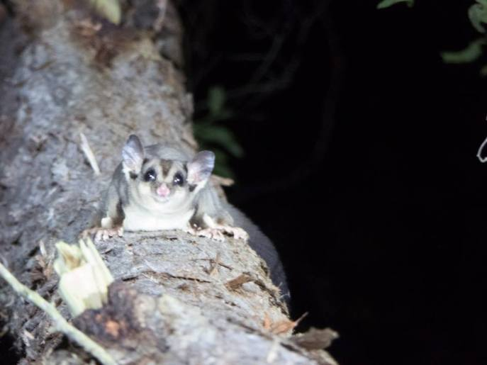 Sugar Glider_Sam Travers