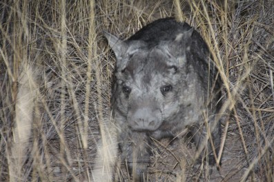 The elusive northern hairy-nosed wombat!