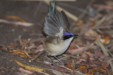 Purple crowned fairywren IMG_9995