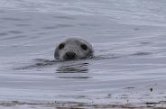 Grey Seal near Doolin